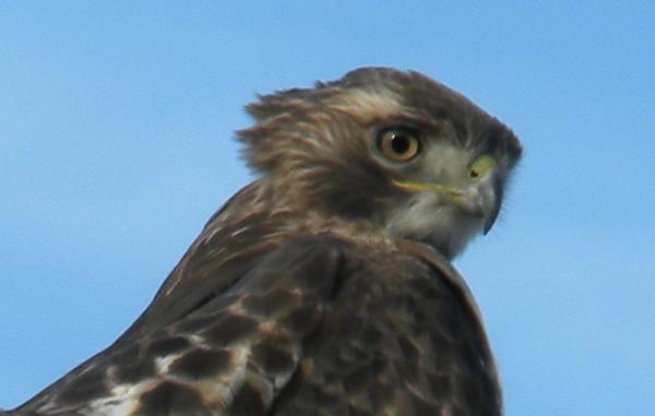 Redtail Hawk 01