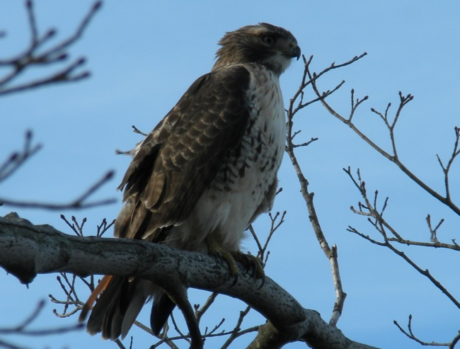Red Tail 02