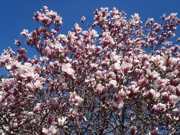 Magnolia02